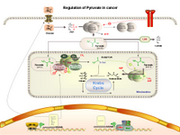 Regulation of Pyruvate in Cancer PPT Slide