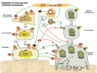 Regulation of osteoclasts and osteoblasts development PPT Slide