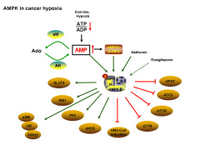 AMPK in cancer hypoxia PPT Slide