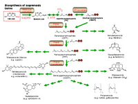 Biosynthesis of isoprenoids PPT Slide