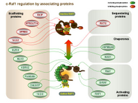 Raf1 associated proteins and regulation PPT Slide