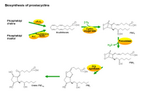 Biosynthesis of prostacyclins PPT Slide