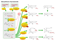 Biosynthesis of prostanoids PPT Slide