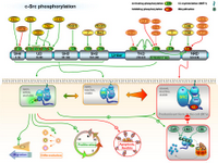 Src phosphorylation PPT Slide