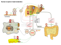 Nuclear receptors in lipid metabolism PPT Slide