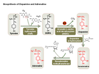 Biosynthesis of dopamine and adrenaline PPT Slide