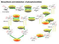 Biosynthesis of phosphoinositides PPT Slide