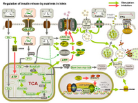 Regulation of insulin release by nutrients in islets PPT Slide