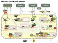 Regulation of PGC-1alpha in energy metabolism PPT Slide