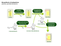 Biosynthesis of polyamines PPT Slide