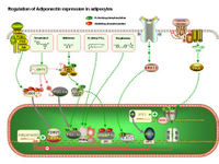 Regulation of Adiponectin expression in adipocytes PPT Slide