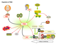 Regulation of TRB3 PPT Slide
