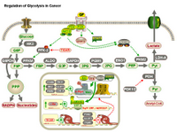 Regulation of glycolysis in cancer PPT Slide