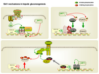 Sirt1 mechanisms in hepatic gluconeogenesis PPT Slide