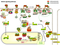 Wnt3A signaling pathways PPT Slide