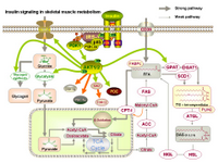 Insulin signaling in skeletal muscle metabolism PPT Slide