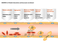 EMMPRIN in Platelet interactions and leucocyte recruitment PPT Slide