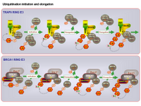 Ubiquitination initiation and elongation PPT Slide