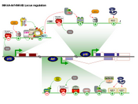 Ink4A-Arf-Ink4B Locus regulation PPT Slide