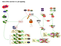 Role of Pin1 and Che-1 in p53 signaling PPT Slide