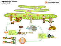 Unfolded Protein Response pathways in ER PPT Slide