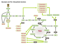Glycolysis and TCA - Biosynthetic functions PPT Slide