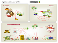 Regulation and targets of Dyrk1A PPT Slide