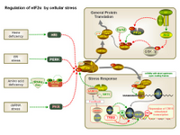 Regulation of eIF2 alpha by cellular stress PPT Slide