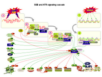 SSB and ATR signaling cascade PPT Slide