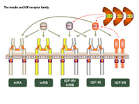Insulin and IGF receptor family PPT Slide