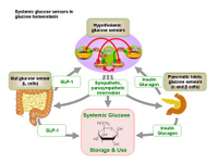 Systemic glucose sensors in glucose homeostasis PPT Slide