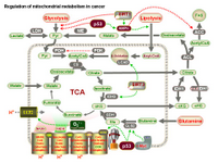 Regulation of mitochondrial metabolism in cancer PPT Slide