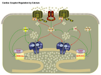 Cardiac couplon regulation by calcium PPT Slide