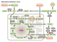 Mitochondrial metabolism in cancer PPT Slide