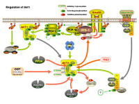 Regulation of Akt1 PPT Slide
