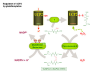 Regulation of UCP2 by glutathionylation PPT Slide