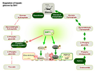 Regulation of hepatic glucose by Sirt1 PPT Slide
