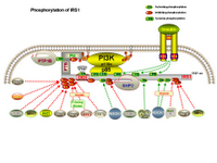 Phosphorylation of Irs1 PPT Slide