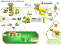 Adiponectin signaling in skeletal muscle PPT Slide