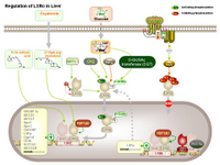 Regulation of LXRalpha in liver PPT Slide